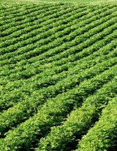 farm-potato-field-potatoes-growing-rolling-hills-idaho-162322406.jpg