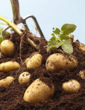 how-to-grow-potatoes-1523719685